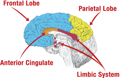 Brain Frontal Lobe Parietal Anterior Cingulate