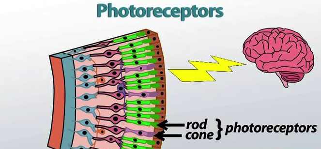 pineal gland photorecptors