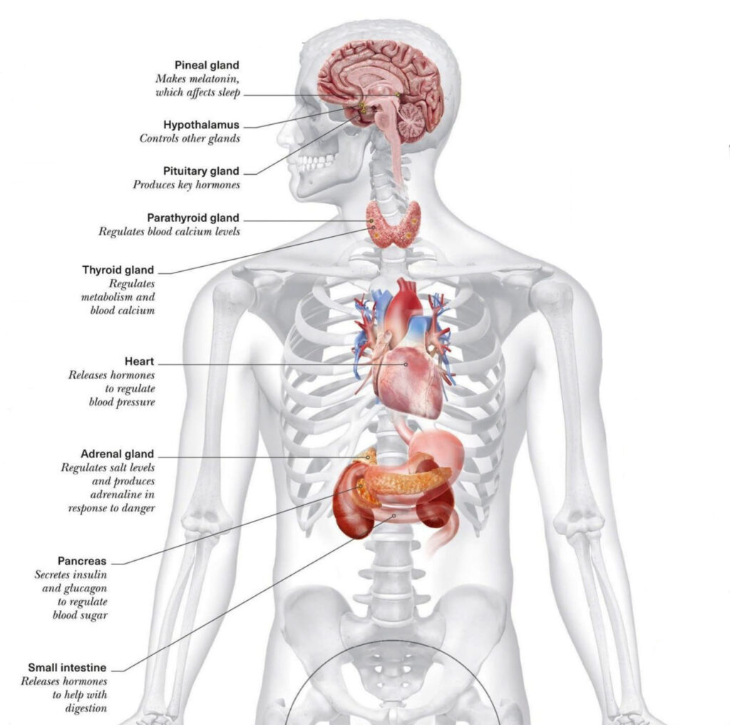 YOGA AND THE ENDOCRIINE SYSTEM